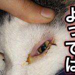 猫の目やにが黄色〜黄緑色なら超危険!