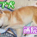 老犬の通院頻度や費用について6つのポイント