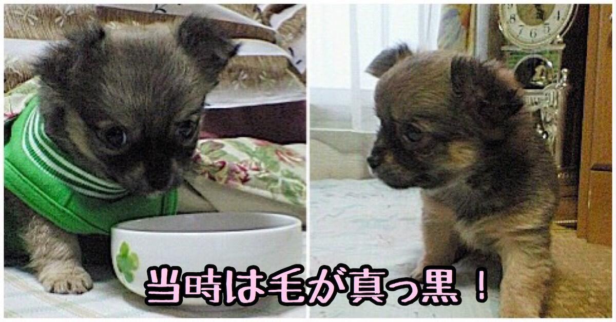 赤ちゃんココアは毛が真っ黒