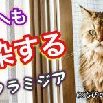 猫クラミジア感染症とは?