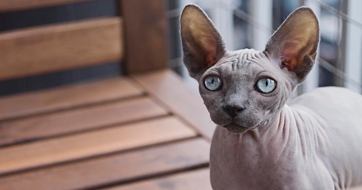 猫の皮膚病の種類