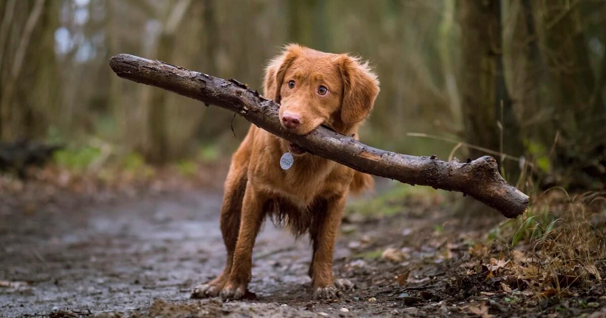 犬に遊びを覚えさせる時間は15分が限界