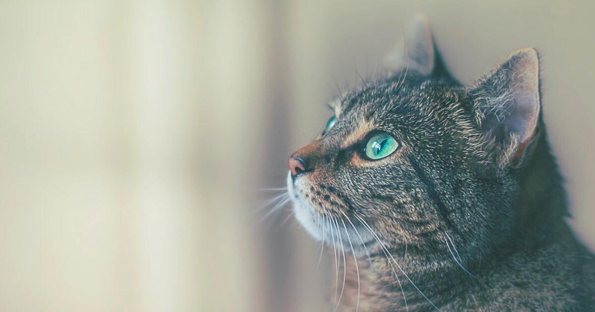 猫はなぜ誰もいない部屋や方向に向かって鳴くのか?