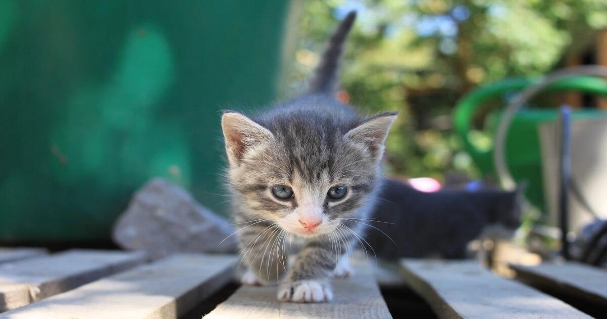 トイレを覚えることができない子猫への覚えさせ方