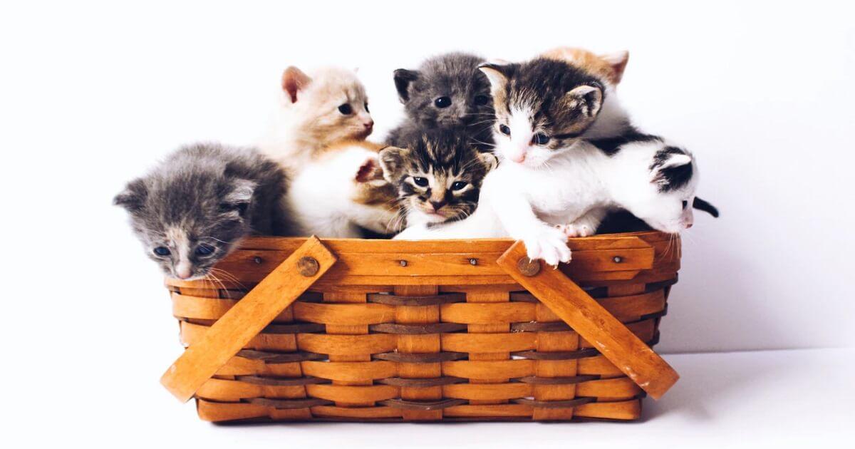 子猫の去勢はいつごろがベスト時期か?