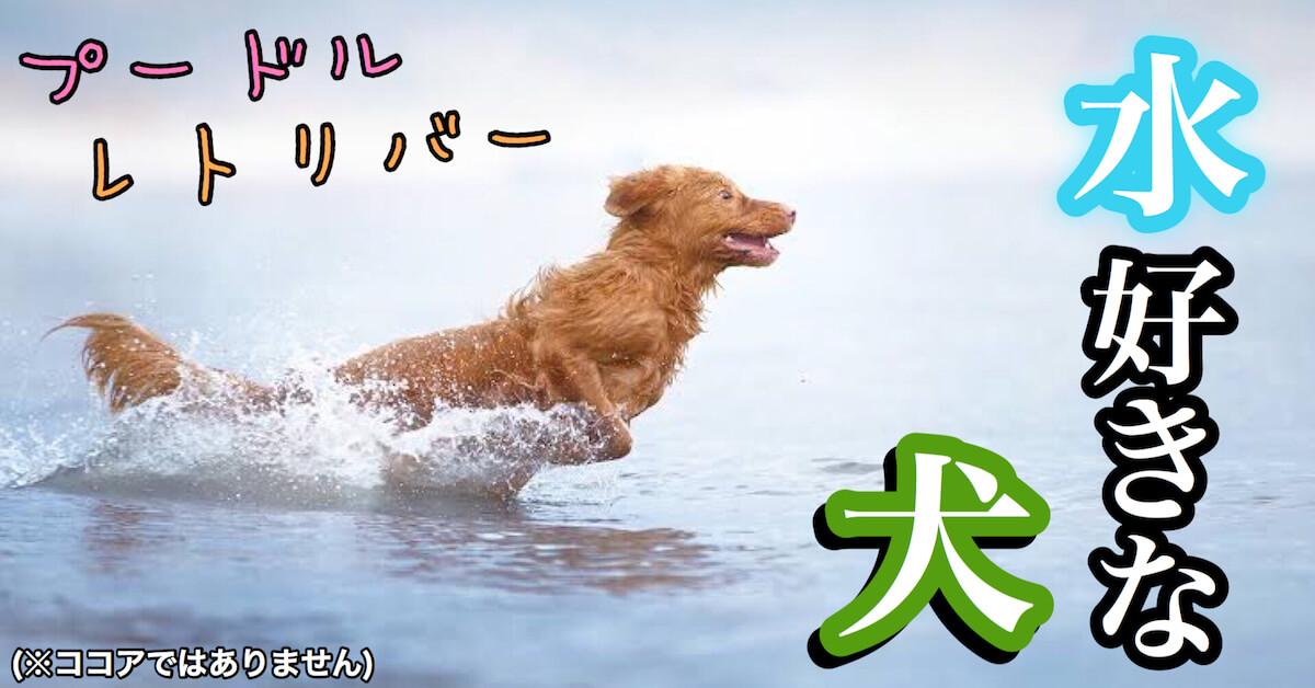 水好きな犬はプードルやレトリバー