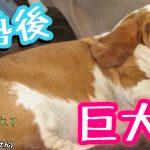 犬が去勢後に太る2つの理由