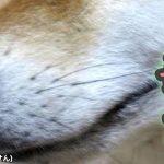 犬に白黒のひげが!?1本だけ白髪が混ざってるのはなぜ?