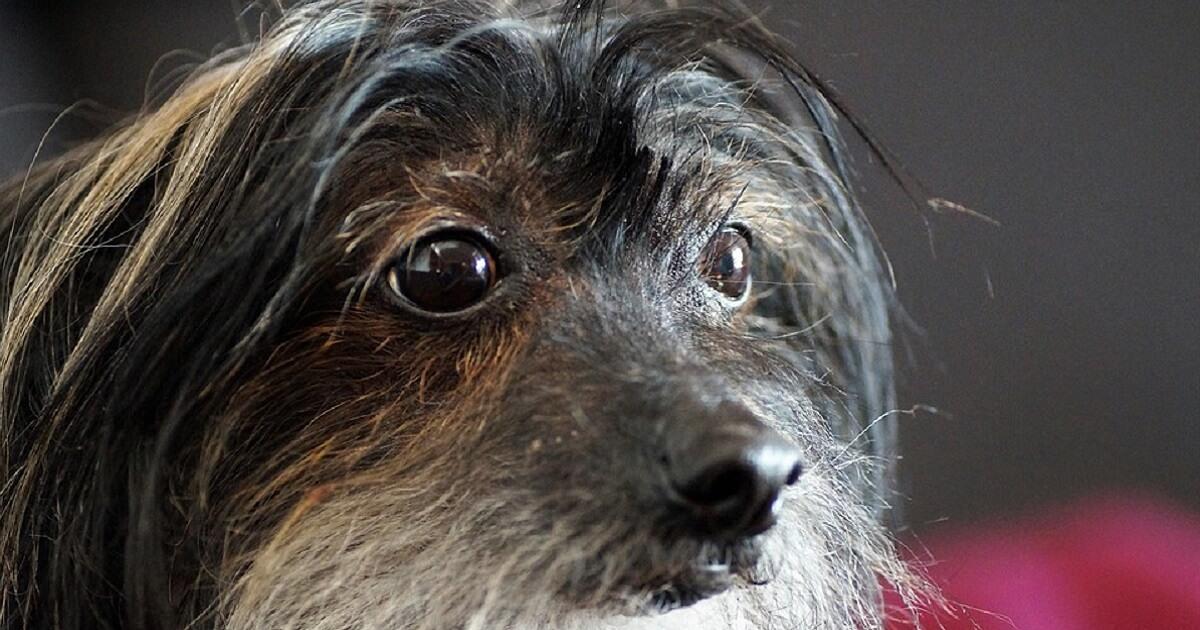 犬のひげの中に白髪が混ざってるのはなぜ?
