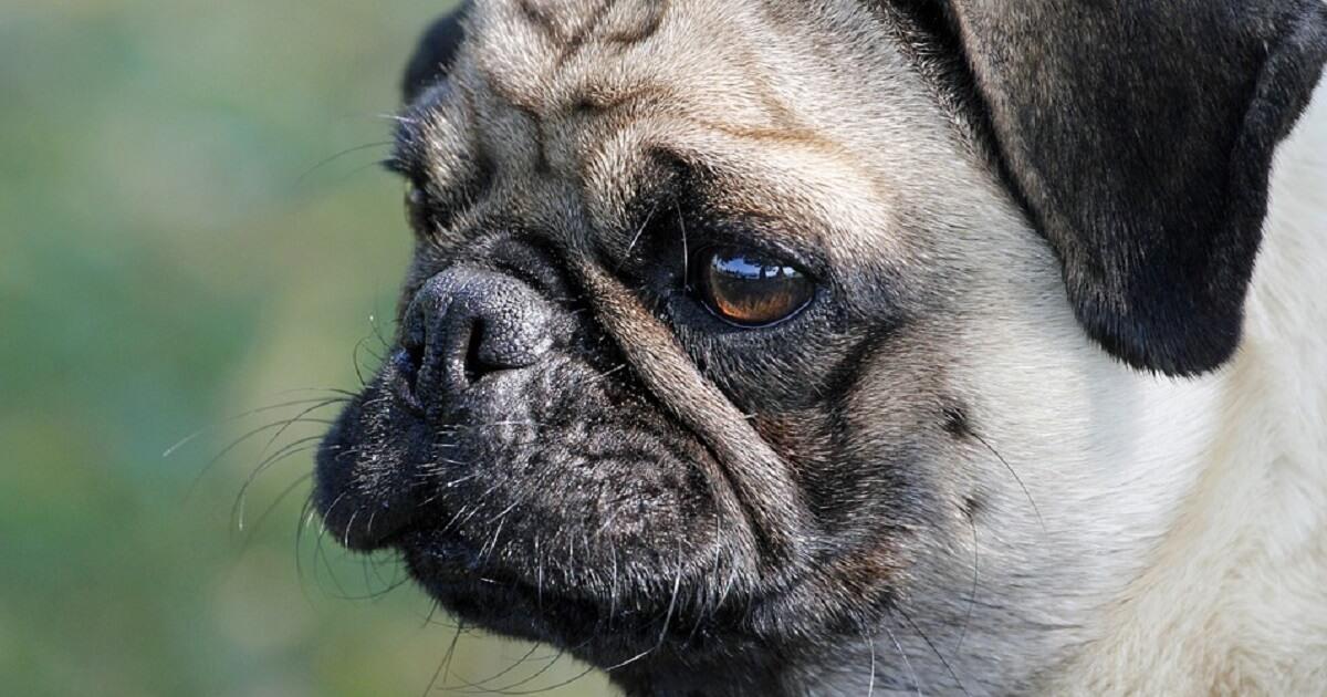 老化以外に犬のひげに白髪が生える原因はあるの?