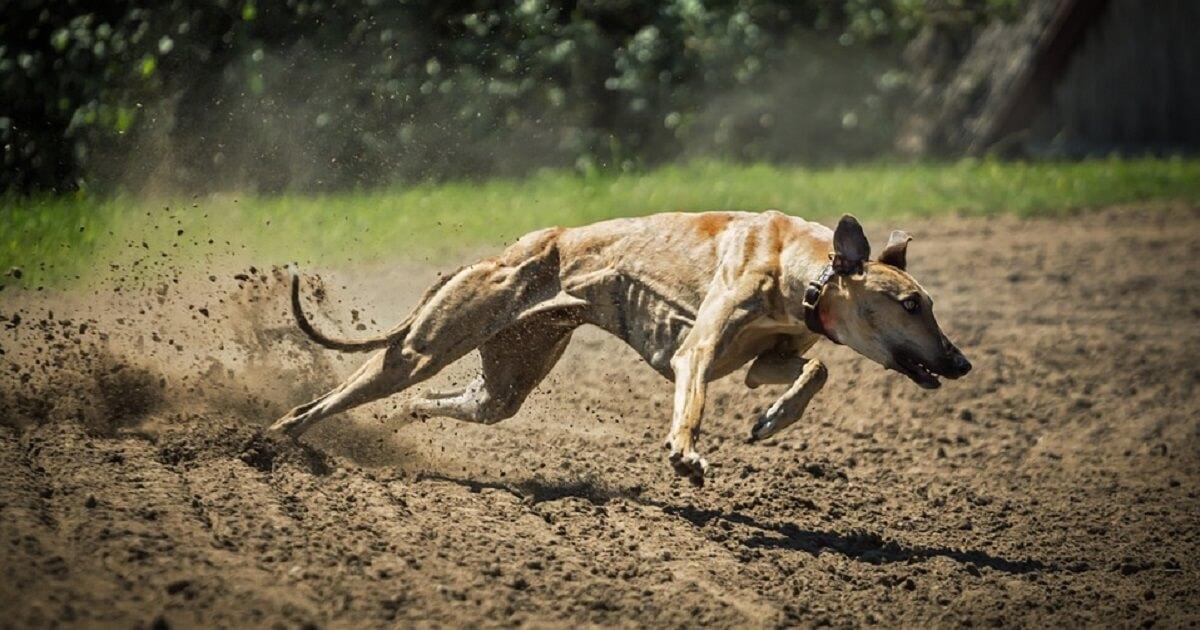世界最速の犬グレイハウンドは時速何kmで走る?