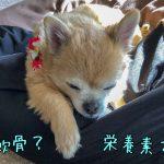 老犬チワワの関節炎の治し方
