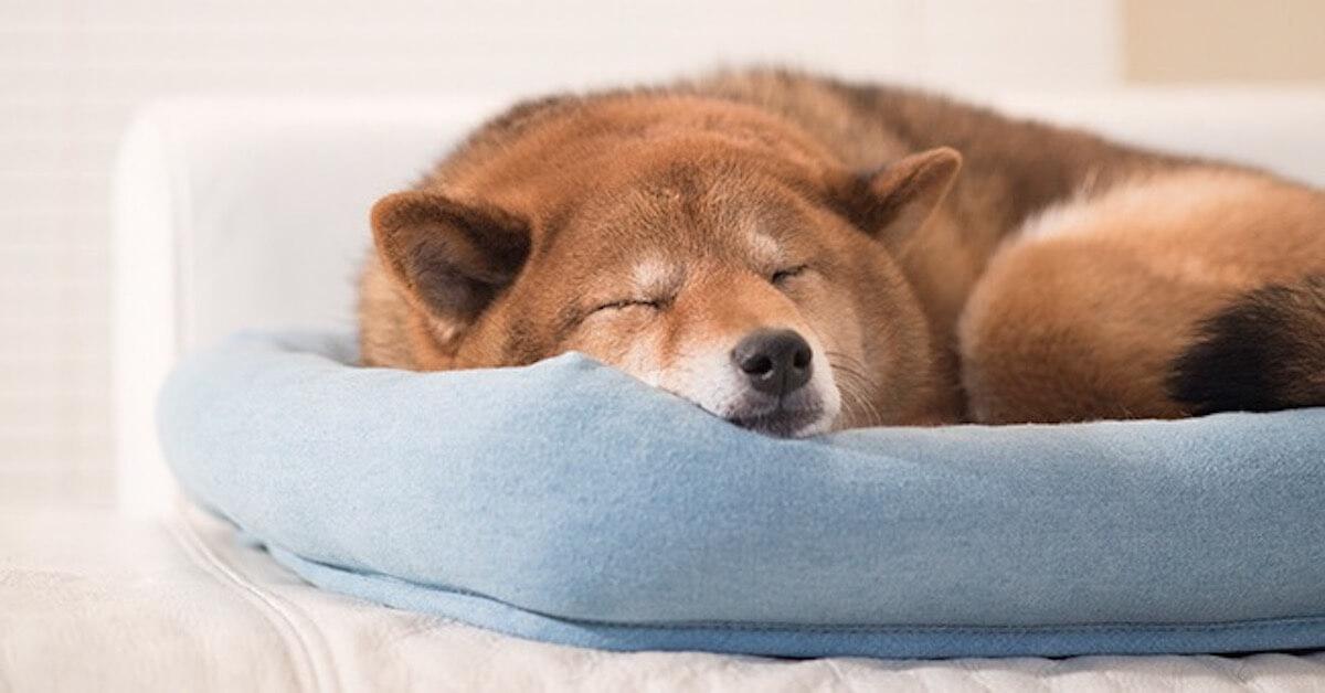 エアコンで冷房の効いた部屋にいる犬